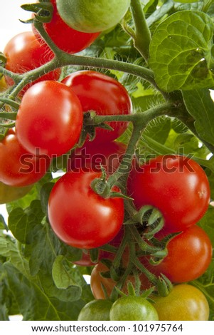 Bunch of growing tasty tomatoes for background use - stock photo