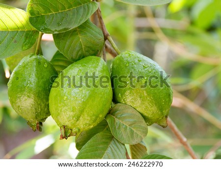 Bunch of guava fruits in a tree - stock photo