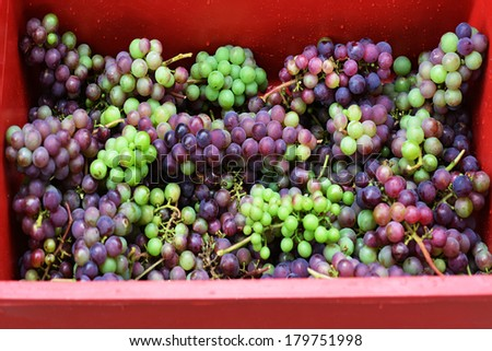 Bunch of hand-picked red wine grapes in a red box. Ripe grapes from the vineyard. Wine concept - stock photo