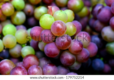 Bunch of hand-picked red wine grapes. Ripe grapes from the vineyard. Wine concept - stock photo
