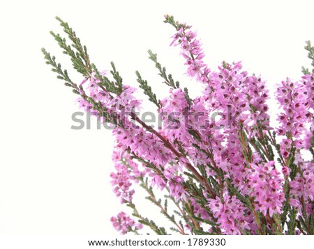 bunch of heather isolated on white - stock photo