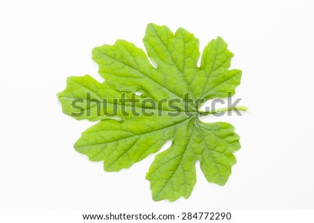 Bunch of Ivy Gourd Leaves Isolated on White Background - stock photo