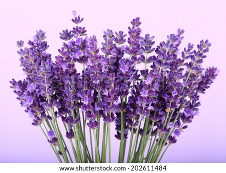 Bunch of lavender on a violet background - stock photo