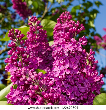 bunch of lilac flower - stock photo