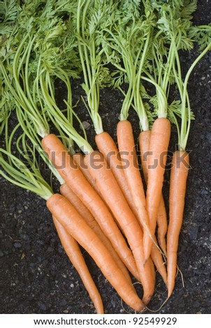 Bunch of lovely clean fresh orange carrots with their leaves , vertical. - stock photo