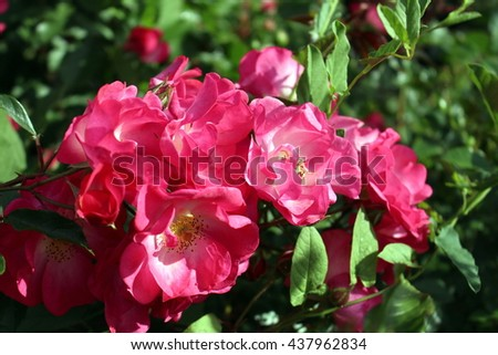 Bunch of lush pink roses - stock photo