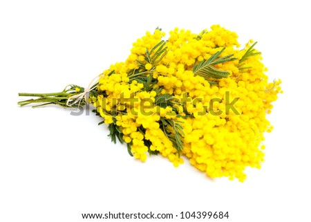 bunch of mimosa flowers isolated on white - stock photo