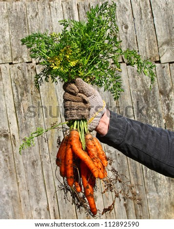 Bunch of orange carrots in hand against the wall of shed - stock photo