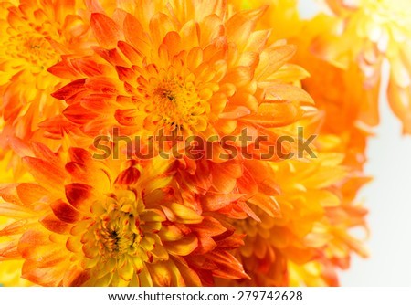 Bunch of orange chrysanthemums - stock photo