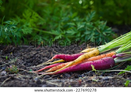 bunch of organic carrots laying on fertile soil at a home garden - stock photo