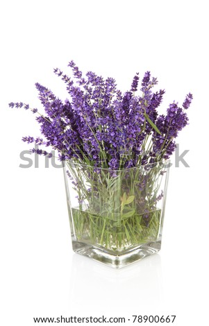Bunch of picked lavender over white background