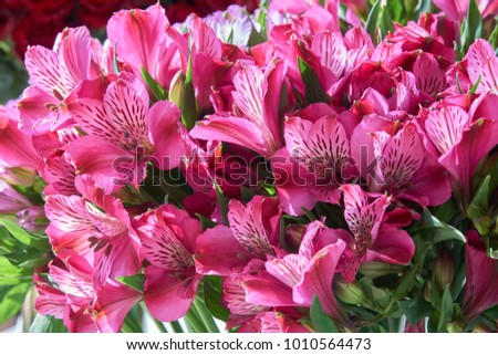 Bunch of pink alstroemeria as beautiful floral background