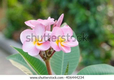 Bunch of pink Frangipani, Frangipanni,  or plumeria tropical flowers