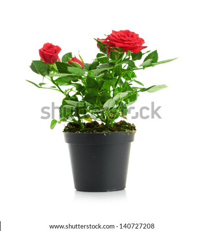 Bunch of pink roses in flowerpot.  isolated on white background - stock photo