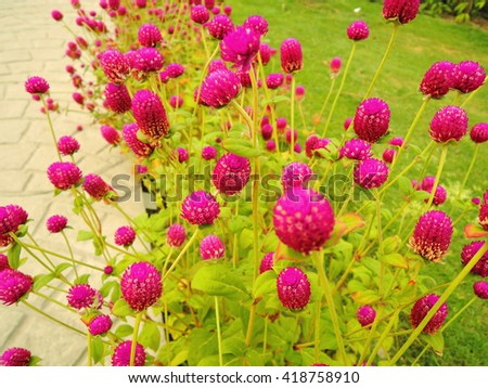 Bunch of pink round Gomphrena globosa flowers, commonly known as globe amaranth or bachelor button - stock photo
