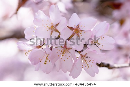 Bunch of pink sakura or Japanese cherry flowers against soft background. Spring theme