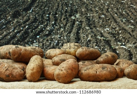 bunch of potatoes on the background of agricultural lands - stock photo