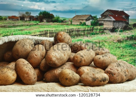 bunch of potatoes on the background of rural areas - stock photo