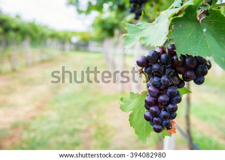bunch of purple grapes on the vine with green leaves - stock photo