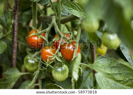 Bunch of red and green tomatoes growing in garden