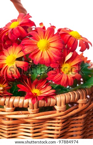 Bunch of red chrysanthemums in a basket over white background - stock photo