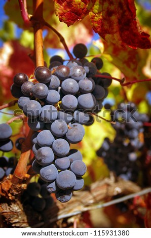 Bunch of red grapes in a vineyard in a rural landscape with bright sunlight - stock photo