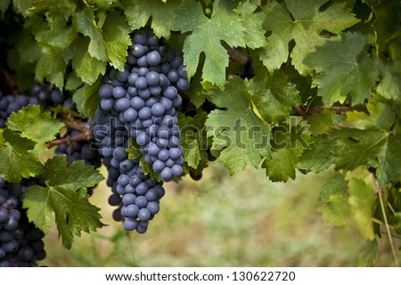 bunch of red grapes on the vine with green leaves - stock photo