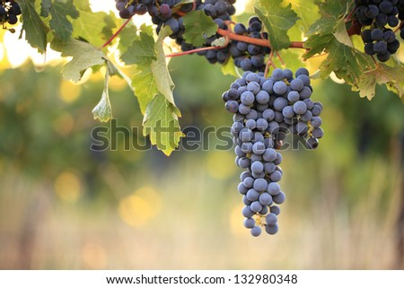 Bunch of red grapes on vine in warm afternoon light - stock photo