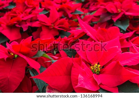 Bunch of red poinsettia plants