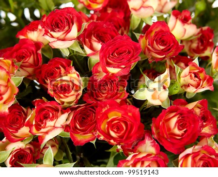 bunch of red roses on white background - flowers and plants