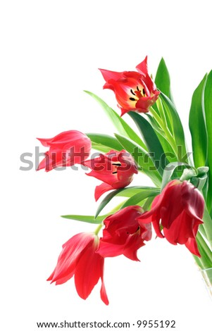bunch of red tulips isolated on white background - stock photo