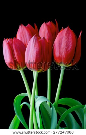Bunch of red tulips on a black background - stock photo