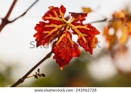 Bunch of red vine leaves on a nature background. Color trend. - stock photo