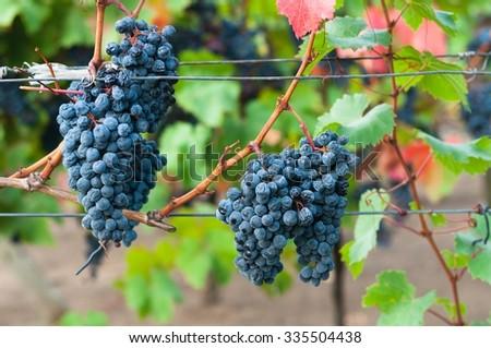 Bunch of red wine grape Bibor kadarka (Purple kadarka) in vineyard ready to harvest. Bibor kadarka is a Hungarian bred red wine grapes - stock photo