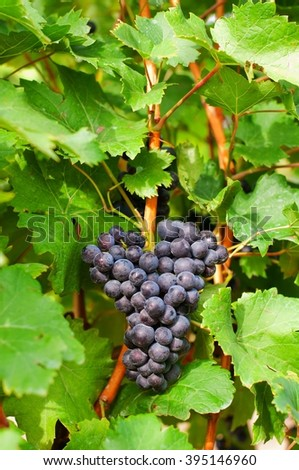 Bunch of red wine grape in vineyard ready to harvest - stock photo