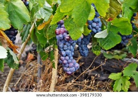 Bunch of red wine grapes hang from a vine, Canary Islands - stock photo
