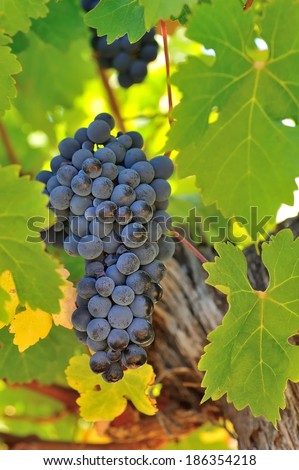 Bunch of ripe Cabernet Sauvignon grapes amid healthy green leaves - stock photo