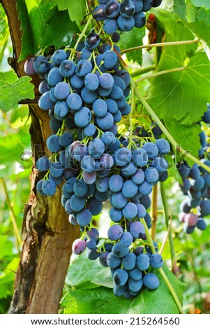 bunch of ripe grapes flavored