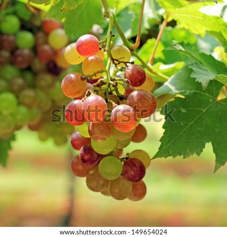 Bunch of ripe grapes on grapevine right before harvest  - stock photo