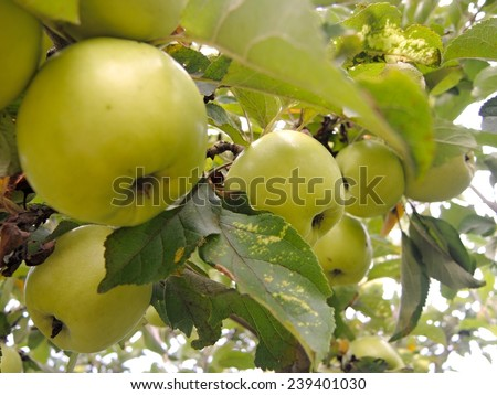 bunch of ripe green apples on a branch - stock photo