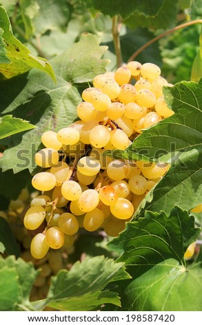 bunch of ripe muscat grapes closeup, illuminated by the sun - stock photo