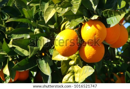 Bunch of ripe oranges hanging on a branch