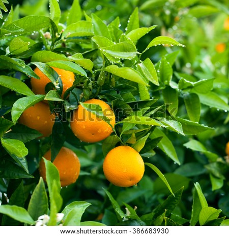 Bunch of ripe oranges hanging on a tree, rain drops on leaves - stock photo