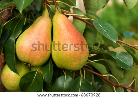 Bunch of ripe pears on tree branch - stock photo