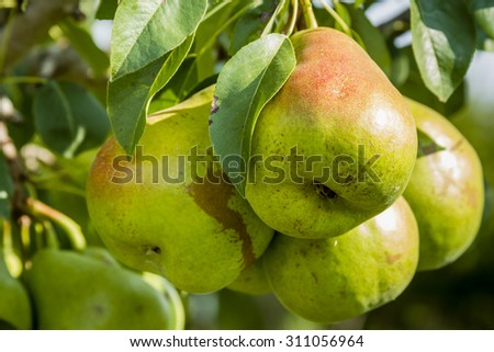 Bunch of ripe pears with red blush hanging on tree branch in orchard in morning sun