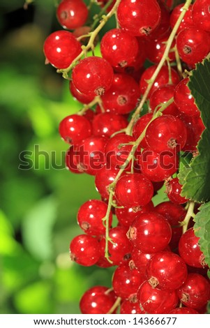 Bunch of ripe, red currants.