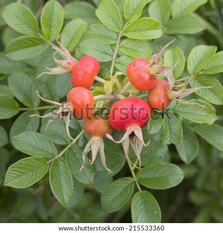 bunch of ripe red rosehips on plant in garden - stock photo
