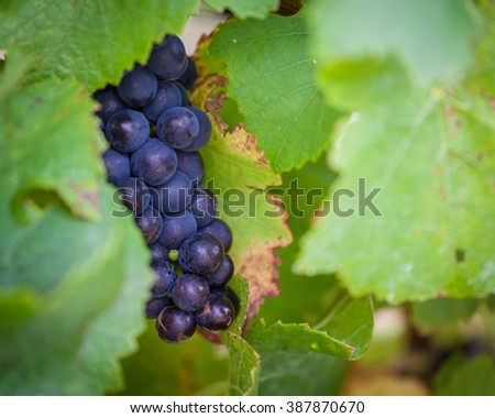 Bunch of ripe red wine grapes hiding in vine leafs