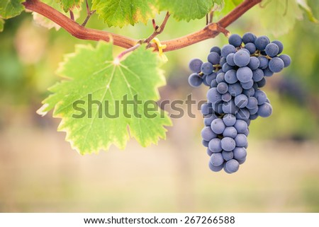 Bunch of ripe red wine grapes on vine with blurred background - stock photo