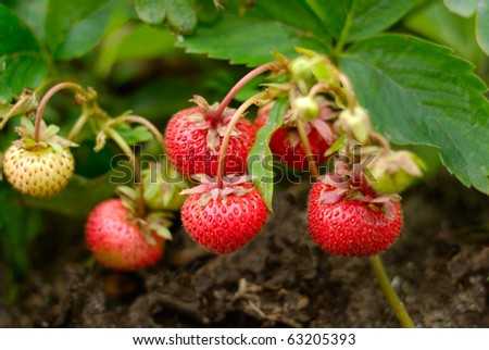 Bunch of ripe strawberries over leaves and soil